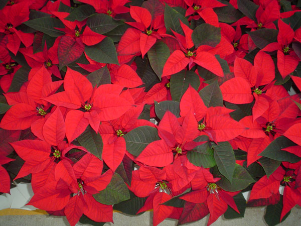 Poinsettias provided by Battlefield Farm